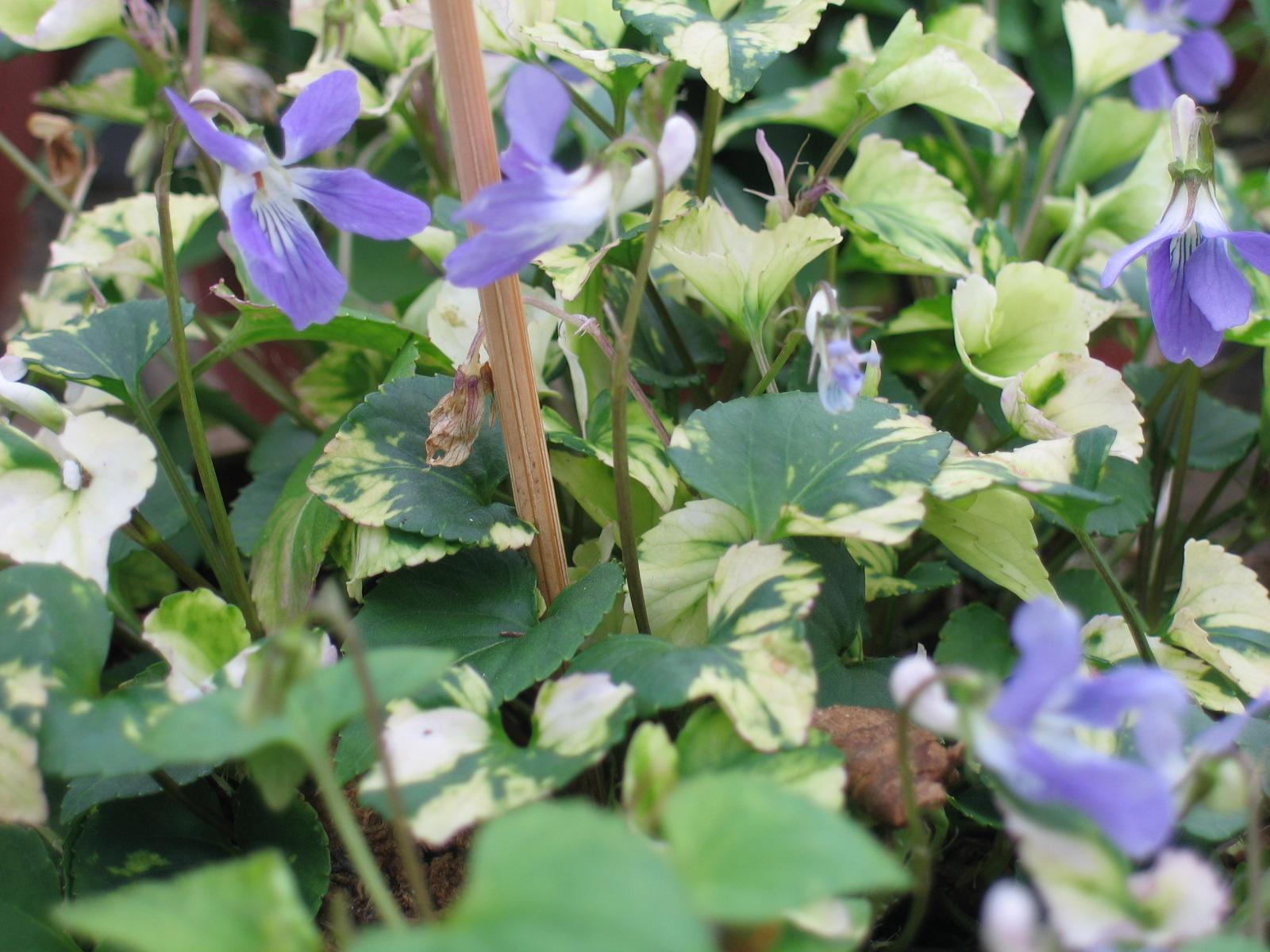blauwe vaste planten winterhard